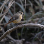 ジョウビタキ(Daurian Redstart) &シジュウガラ(Great Tit)