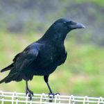 ハシボソカラス(Carrion Crow)