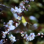 メジロ(Japanese White -Eye)