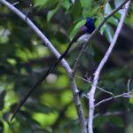 サンコウチョウ(Japanese Paradise Flycatcher)-雄の巻