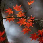 今年最後のイロハカエデの紅葉
