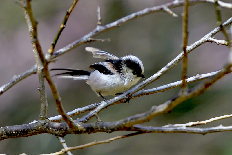 エナガ(Long-tailed Tit)