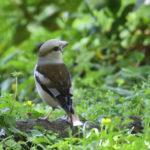 シメ(Hawfinch)