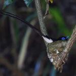 サンコウチョウ(Japanese Paradise Flycatcher)オスの抱卵