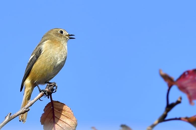 ジョウビタキ(Daurian  Redstart)               — 2016.11.22—