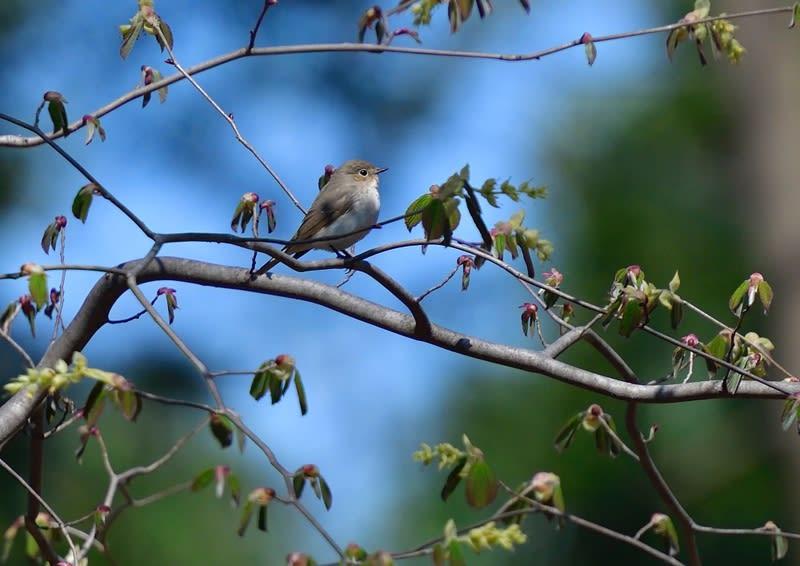 珍鳥ニシオジロビタキ(Red-breasted Flycatcher)-12—2019.4.4—