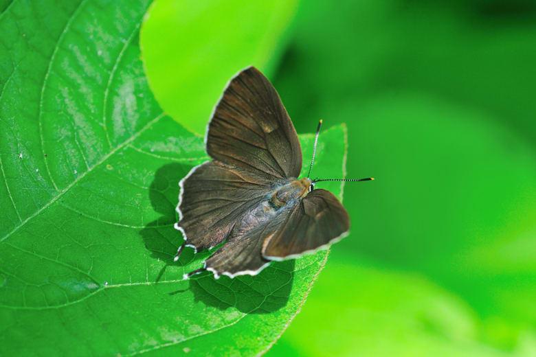 ミドリシジミNeozephyrus japonicus♀を中心に —12.6.28—