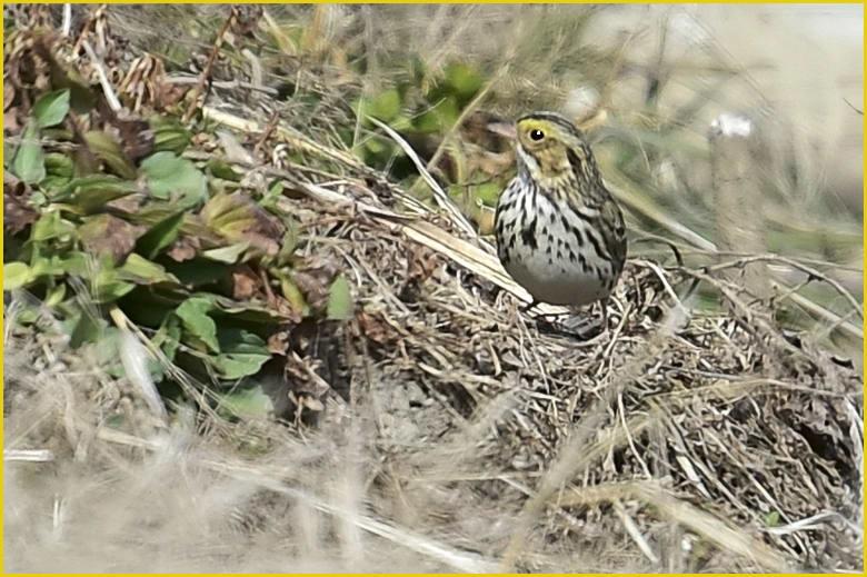 珍鳥-サバンナシトド(Savanna Sparrow)       —16.2.18—