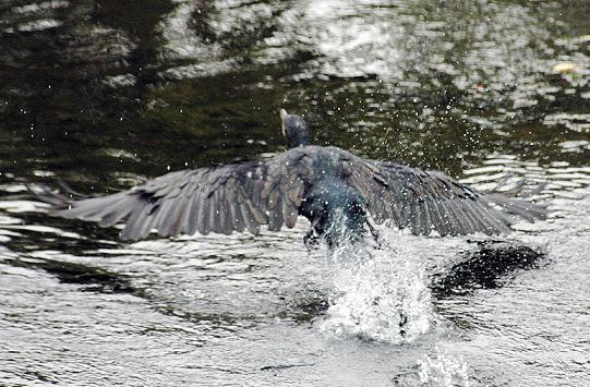 川鵜も近くで見ると黒色ばかりではない!
