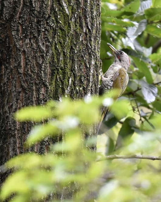アオゲラ(Japanese Green Woodpecker)     —'14.8.31—