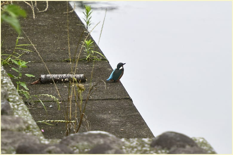 カワセミの幼鳥      — '15. 7.9—