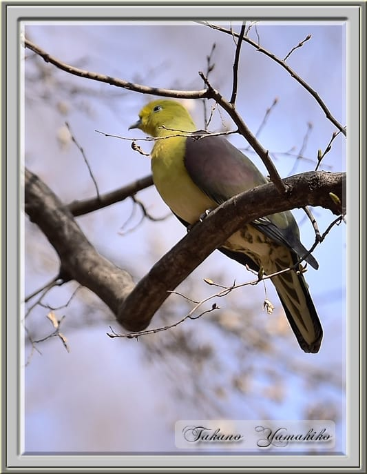アオバト(White-bellied Green Pigeon) 再び   —'15.3.12—