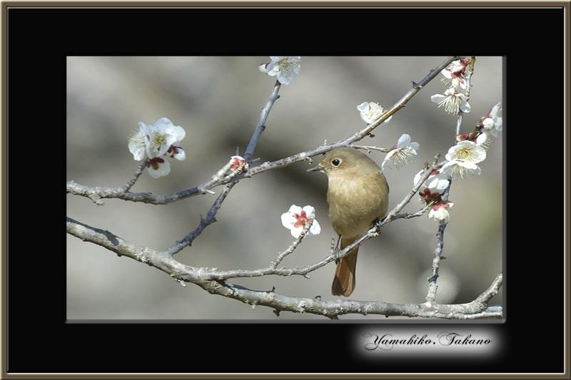 梅花と小鳥     —13.2.25—