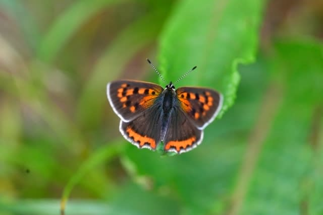 シジミ蝶たち  —2017.6.8—