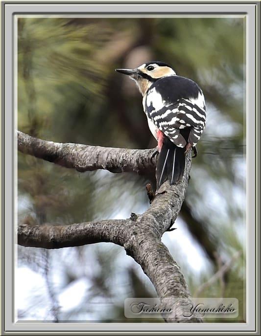 アカゲラ(Great Spotted Woodpecker)          —15.2.21—