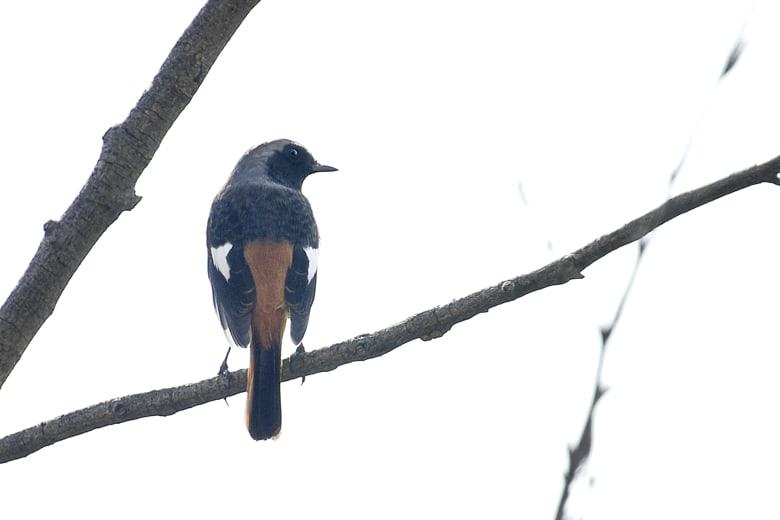 ジョウビタキ(Daurian Redstart)        —15.10.28—