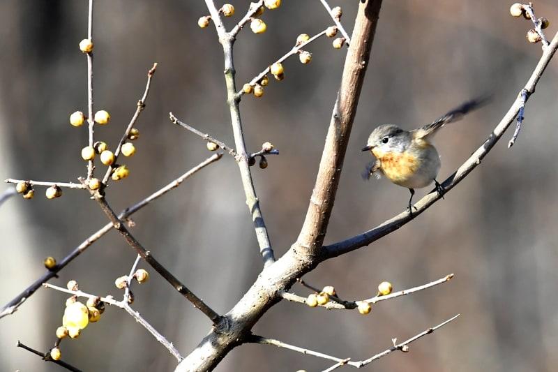 珍鳥ニシオジロビタキ(Red-breasted  Flycatcher)   ⑨   —2017.1.2—