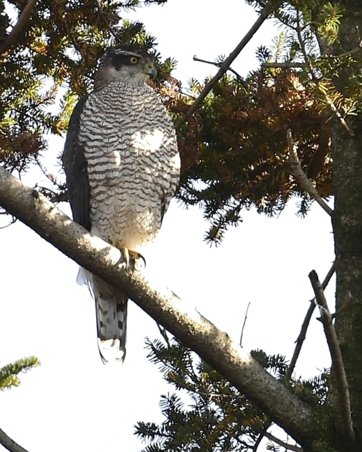 オオタカ(Northem Goshawk)   —'14.11.27—