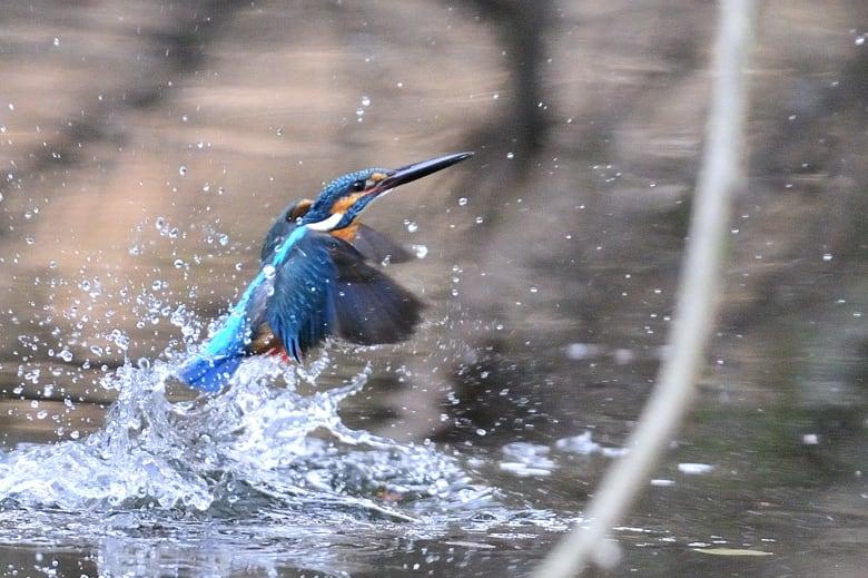 カワセミcommon kingfisher再び—12.2.5—