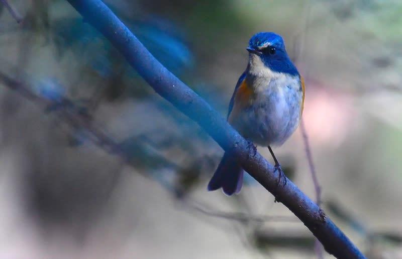 ルリビタキ(Red-flanked Bluetail)♂    —2018.1.9—