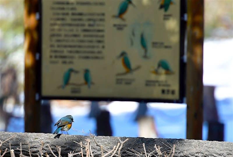 ルリビタキ(Red-flanked Bluetail)♂    —2018.1.26—