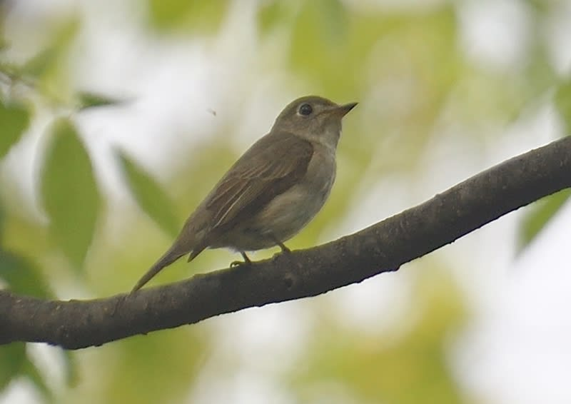 コサメビタキ(Asian Brown Flycatcher)  2019.4.