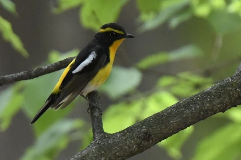 キビタキ( narcissus flycatcher)   —2016.4.25—