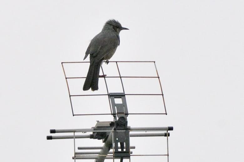 ヒヨドリが近所に多数到来。空を見上げれば、雁が、インコの群が、 —10.10.20—