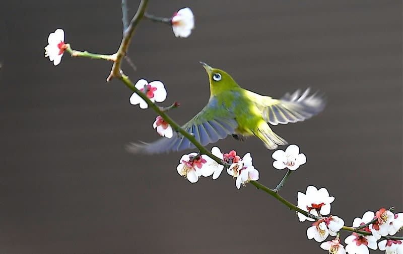メジロ(Japanese  White  Eye)     —2018.2.19—