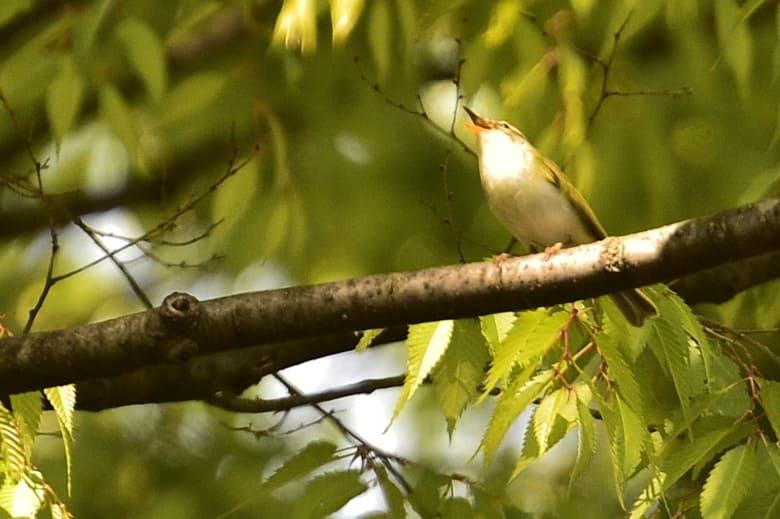 センダイムシクイ(Eastan Crowned Warbler)       —15.4.23—