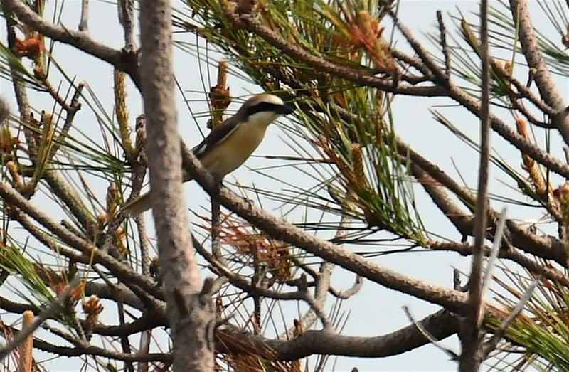 珍鳥モウコアカモズ(Isabelline Shrike) -舳倉島特集-19