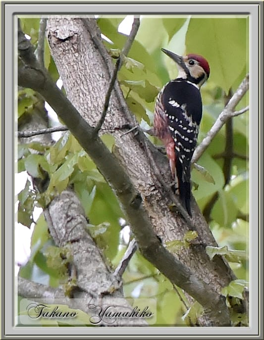 オオアカゲラ(White-backed Woodpecker)      —14.5.21—