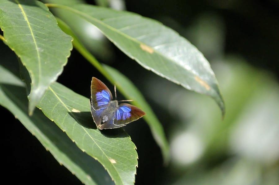 日向ぼっこの紫シジミ・ウラギンシジミ秋型♀(08.11.13,14日)