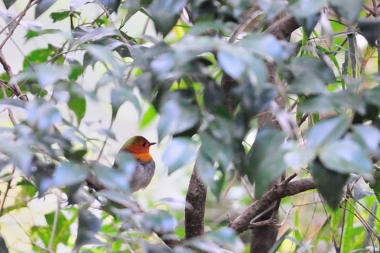 コマドリJapanese Robin (Erithacus akahige)—12.4.18—