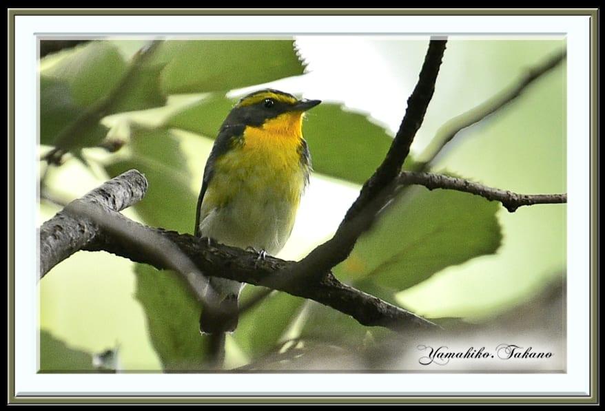 キビタキ(Narcissus Flycatcher) ♂ ♀他   —15.9.24—