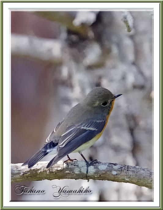 秋の舳倉島で逢った野鳥たち-B.ムギマキ(Mugimaki Flycatcher)–12.10.10~12–