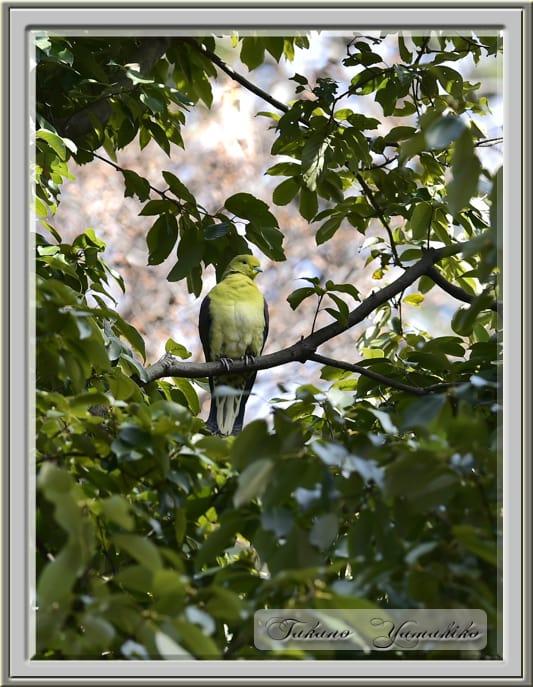 アオバト(White-bellied Green Pigeon)    —'15.2.28—