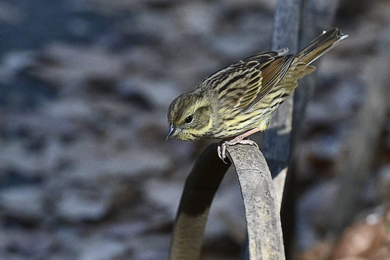 アオジ(black-faced bunting)   —15.12.30—