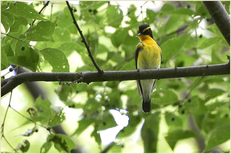 今日の秋が瀬-キビタキ(Narcissus flycatcher)   —15.6.11—