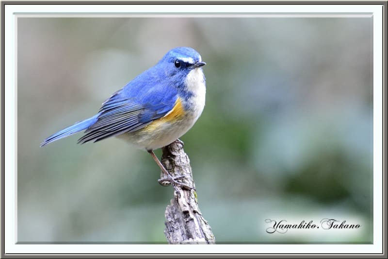 ルリビタキ(Red-flanked Bluetail)        —'13.12.23—