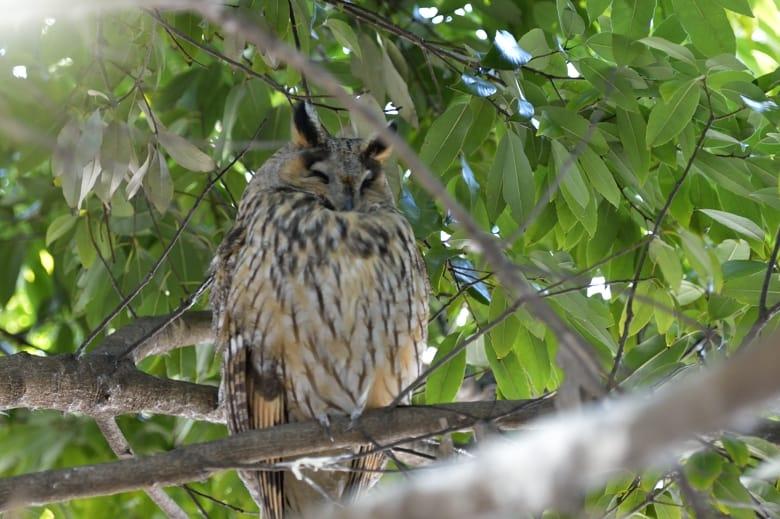 トラフズク(Long-eared Owl)を埼玉県の沼地のほとりで  —2013.1.20—