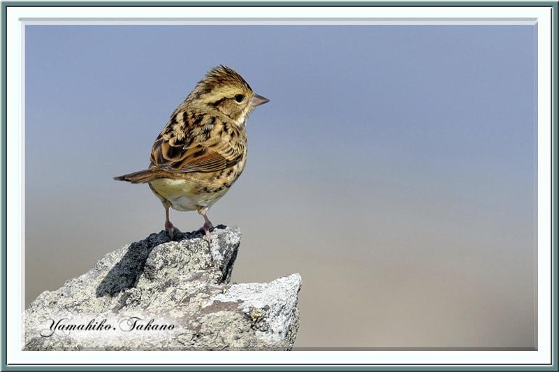 秋の舳倉島で逢った野鳥たち-D.カシラダカ(Rustic Bunting)–12.10.10~12–