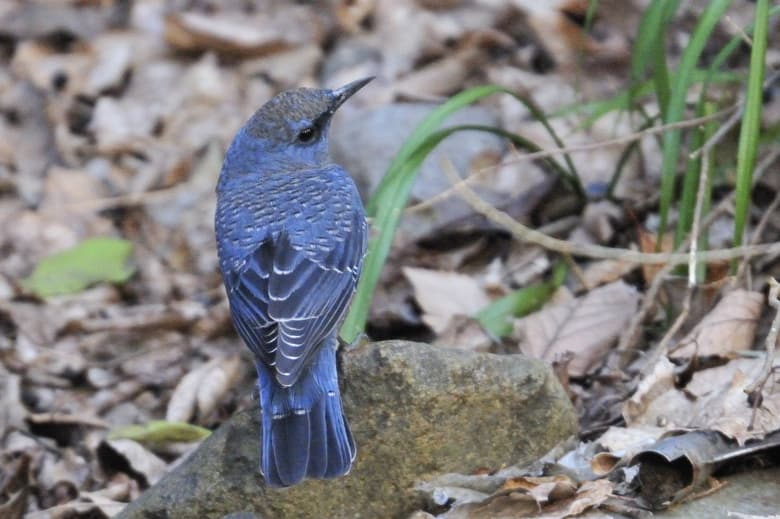 イソヒヨドリBlue Rock Thrush (Monticola solitarius)を千歳川の河原で—12.2.12~13