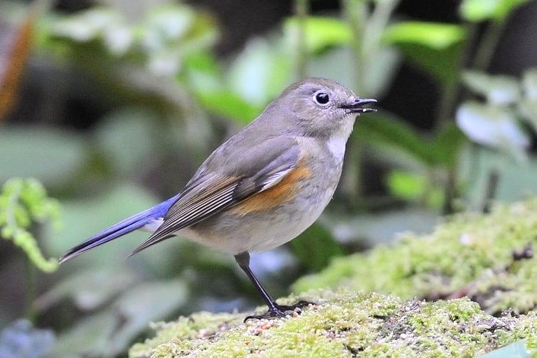 ルリビタキ(Red-flanked Bluetail)       —'14.8.23—