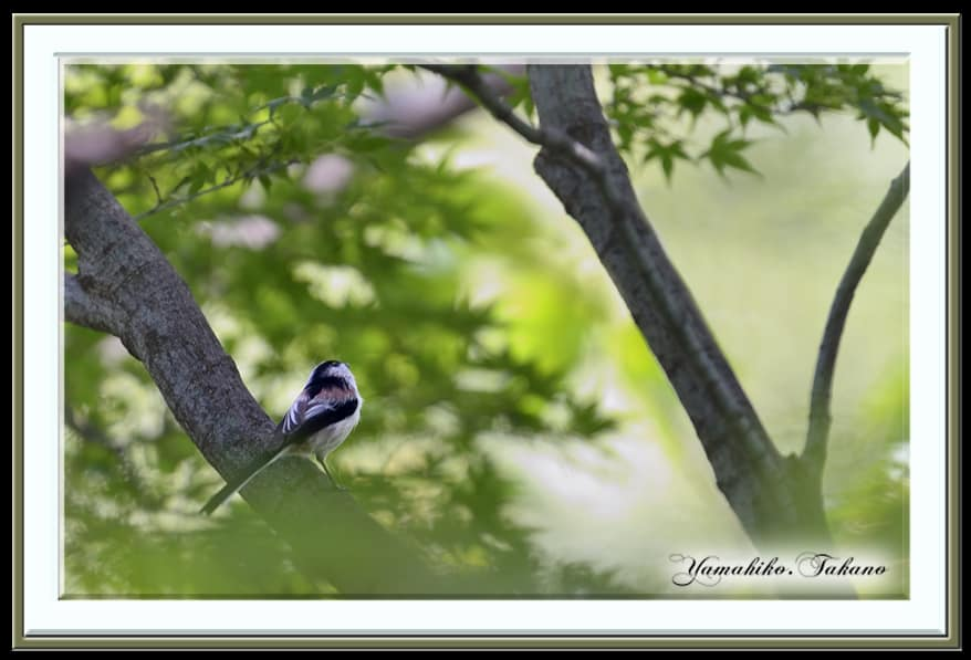 エナガ(Long-tailed tit) が通過 —13.9.30—
