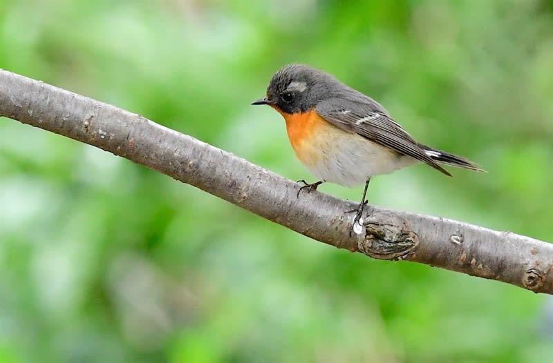 2016.4〜5 舳倉島の珍鳥たち