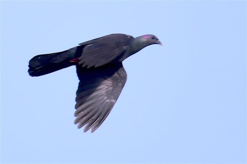 珍鳥カラスバト(Japanese Wood Pigeon)ー舳倉島特集④ —2018.5.14—