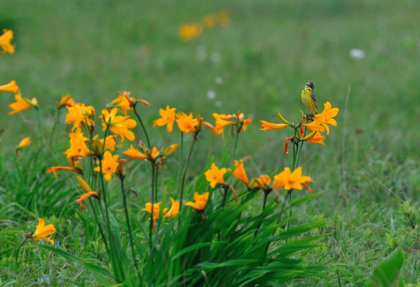 北海道の夏の小鳥たち- (シマアオジyellow-breasted-bunting、ツメナガセキレイ他)—09.6.30—