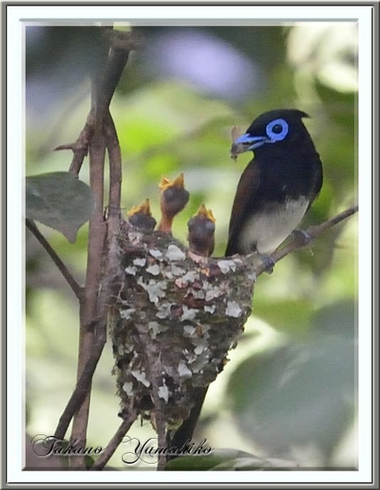 サンコウチョウ(Japanese Paradise  Flycatcher)       —13.6.30—