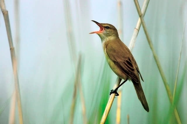オオヨシキリ(great reed warbler)    —2017.5.28—